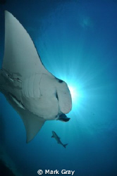 Manta Ray and Friends Sunburst by Mark Gray 